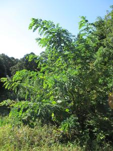 庭のハリエンジュの木_その1