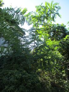 庭のハリエンジュの木_その2