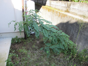 庭のハリエンジュの木_その3