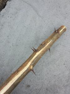 ハリエンジュの幹のトゲ
