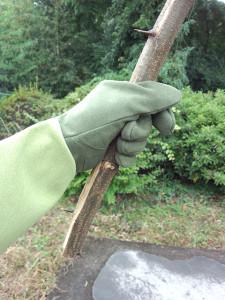 ハリエンジュの幹のトゲを握る_その3