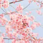 入園式の時期に咲く桜