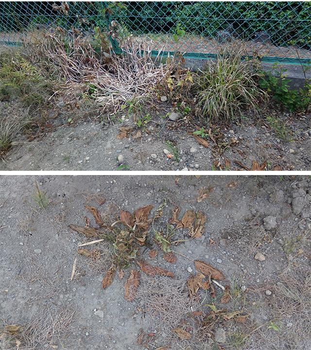 除草剤散布10日後の草