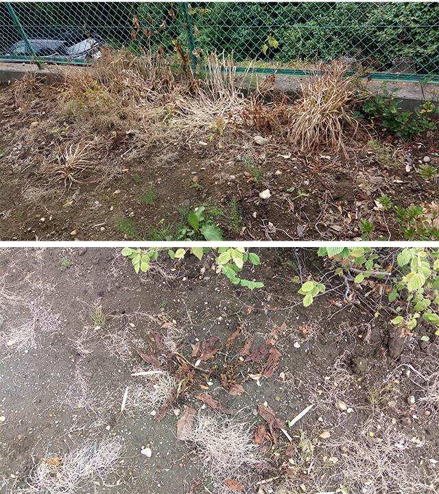 除草剤散布14日後の草