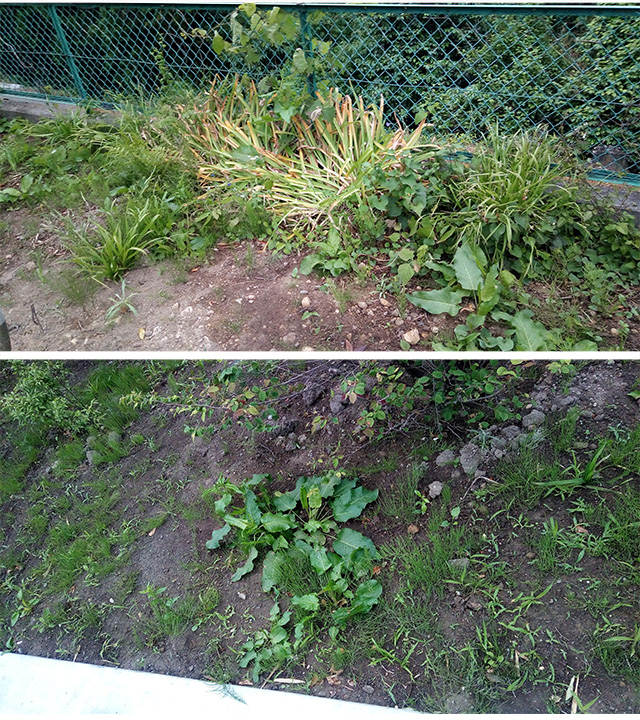 除草剤散布2日後の草