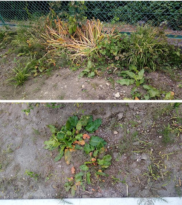 除草剤散布4日後の草