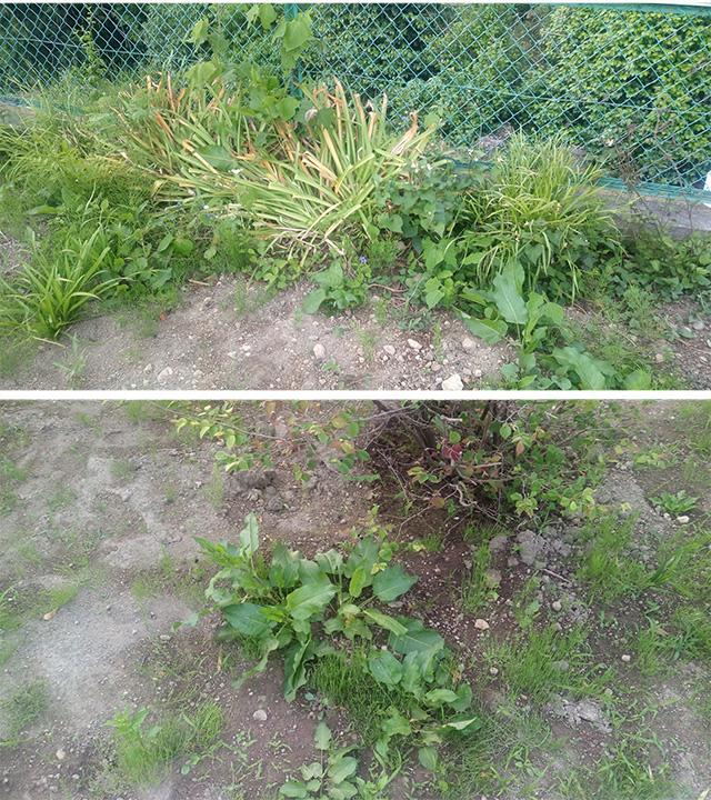 除草剤散布前の草